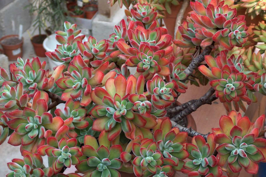 Pianta decorativa da interno: Echeveria pulvinata