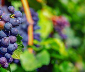 È tempo di raccogliere l'uva!